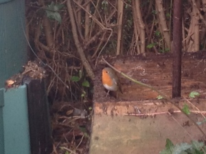 friendly garden companion, the Robin
