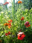Poppies popped up