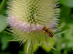teasel and hover