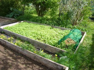 Lovely mustard green manure