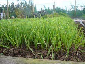 Grazing rye green manure
